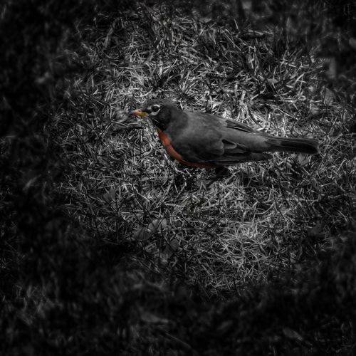 Good morning Mister Robin. Good Things Come In Small Packages With Lightcase Whispers Of Spring Robin IPhoneography