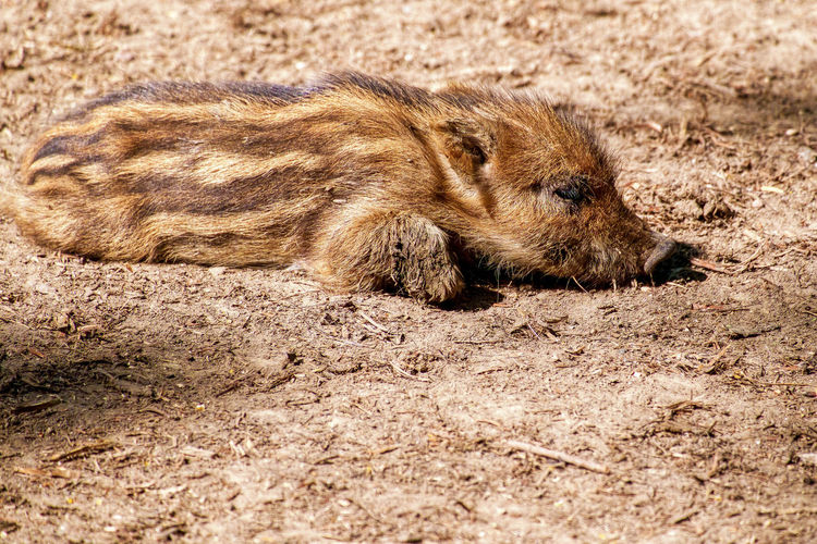 Animal Themes Animal Wildlife Animals In The Wild Close-up Day European Boar Frischling Mammal Nature No People One Animal Outdoors Piglet Shoat Wildschwein