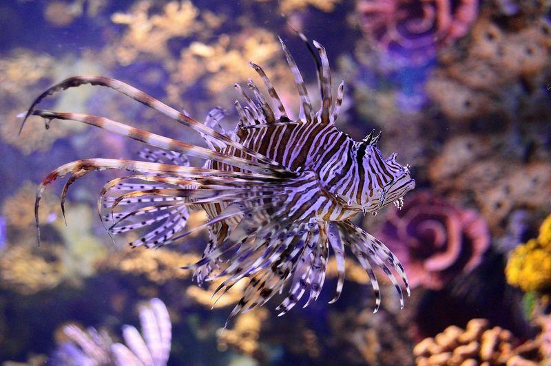 Close-up of lionfish at aquarium