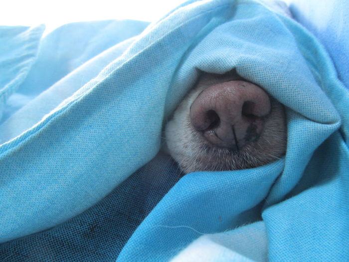 Cropped image of dog nose covered in blue blanket