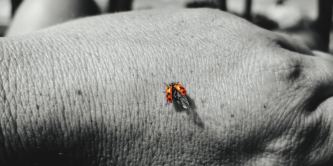 real people, ladybug, insect, unrecognizable person, invertebrate, people, lifestyles, beetle, selective focus, animals in the wild, day, leisure activity, close-up, animal wildlife, outdoors, men, human body part