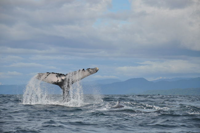 Animal Themes Animal Wildlife Animals In The Wild Animals In The Wild Aquatic Mammal Beauty In Nature Choco Colombia Humpback Whale Mountain Nature Nuquí Pacific Ocean Sea Sea Life South America Water Whale Whale Watching Animals The Great Outdoors - 2017 EyeEm Awards