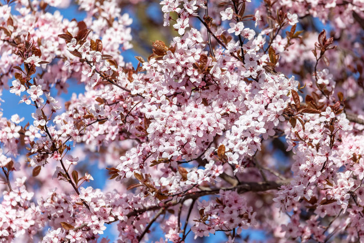 Low angle view of cherry blossom