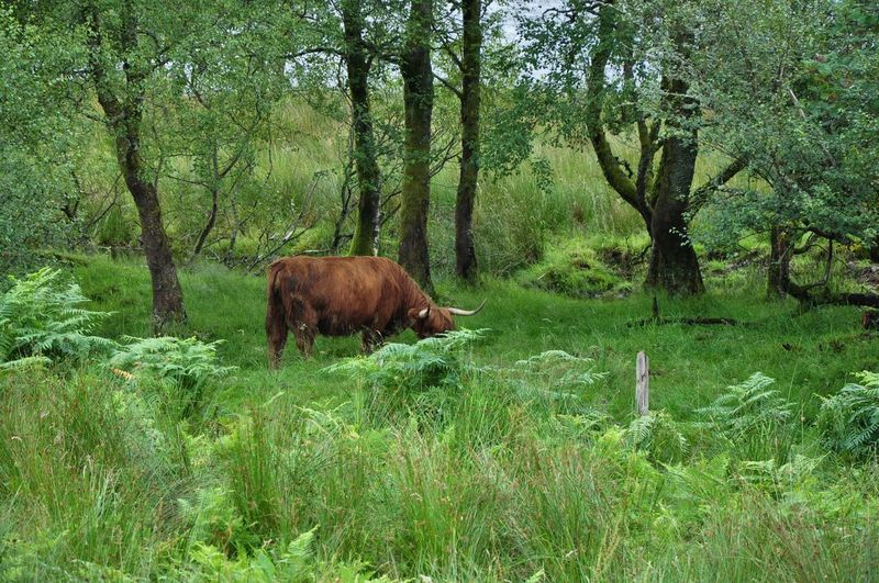 Grass Highland Scotland Animal Themes Animals In The Wild Beauty In Nature Bull Cettle Cow Cows Day Domestic Animals Field Forest Full Length Grass Grazing Green Color Growth Highland Cattle Higlander Cettle Landscape Mammal Nature No People One Animal Outdoors Tree