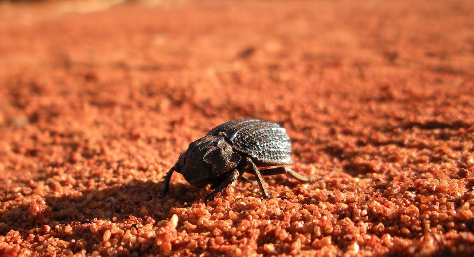 "I believe this insect is from the family of beetles called ""Trogidae"" or ""hide beetles."" I took this photograph on 2009.04.21, near the Uluṟu-Kata Tjuṯa National Park in Australia. Desert Animal Wildlife Beetle Close-up Insect No People One Animal Selective Focus Sunlight"