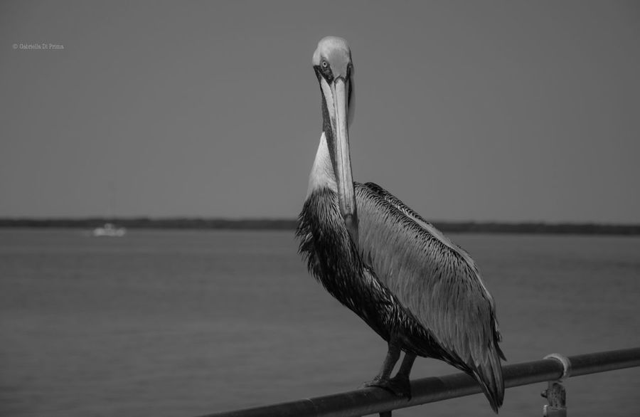 Pelican Seabirds Caribbean Sea Ocean Freebird Portrait Blackandwhite Blackandwhite Photography Island Sailing Photography One Animal Animal Themes Bird Animals In The Wild Travel