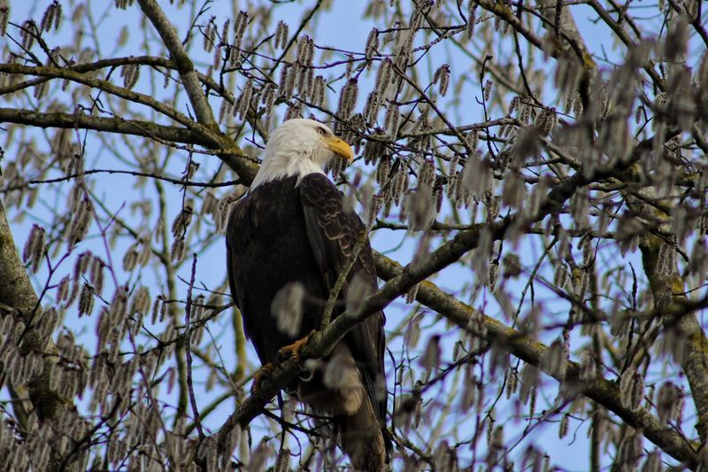 Low Angle View Of Bald Eagle Looking Away While Perching On Branch