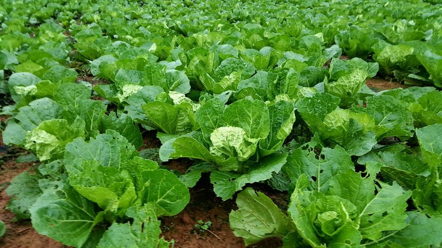 Cabbage harvest Green Color Leaf Growth Day Plant Nature Outdoors No People Freshness Beauty In Nature Close-up Harvest Thailand Market Background Green Vegitable Outdoor Activities Scenics Outdoor