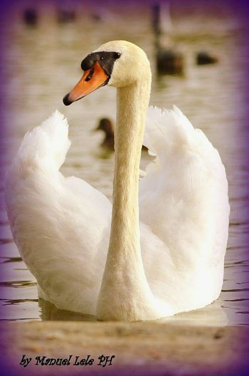 Bird Animal Themes Animals In The Wild White Color Water One Animal Water Bird Beauty In Nature Nature Swan Tranquility Cigno Cigno Bianco Cagliari, Sardinia