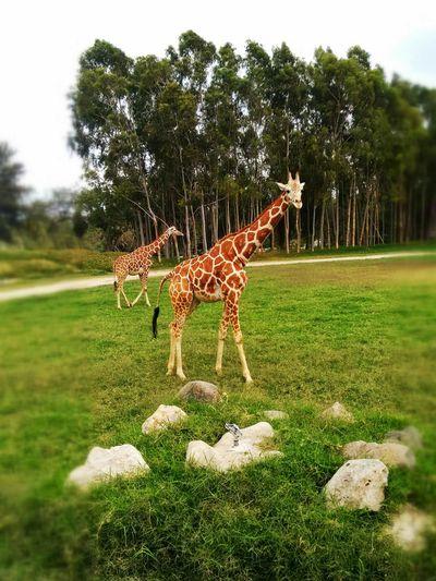 Giraffe grazing in field