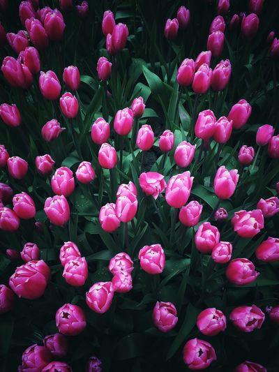 Full Frame Shot Of Pink Tulips Growing In Garden