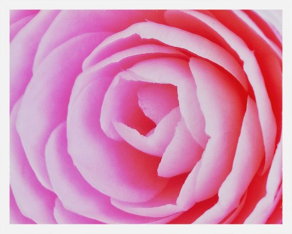camelia rosa Camellia Perfect Flower EyeEm Nature Lover Pink