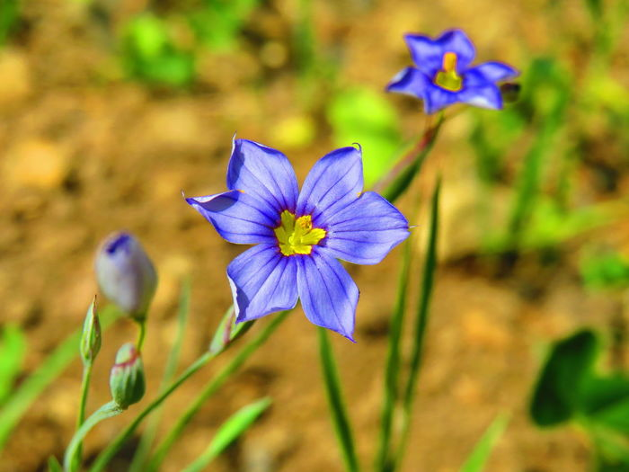 Annual blue-eyed grass (Sisyrinchium rosulatum) Nature Wilderness Springtime Plants California Colorful Spring Flower Head Flower Multi Colored Blue Purple Butterfly - Insect Iris - Plant Close-up Plant Flowering Plant In Bloom Wildflower Botany Blooming Blossom