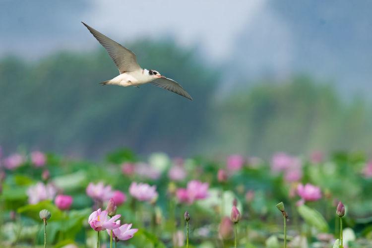 高邮湖上有不少白翅浮鸥