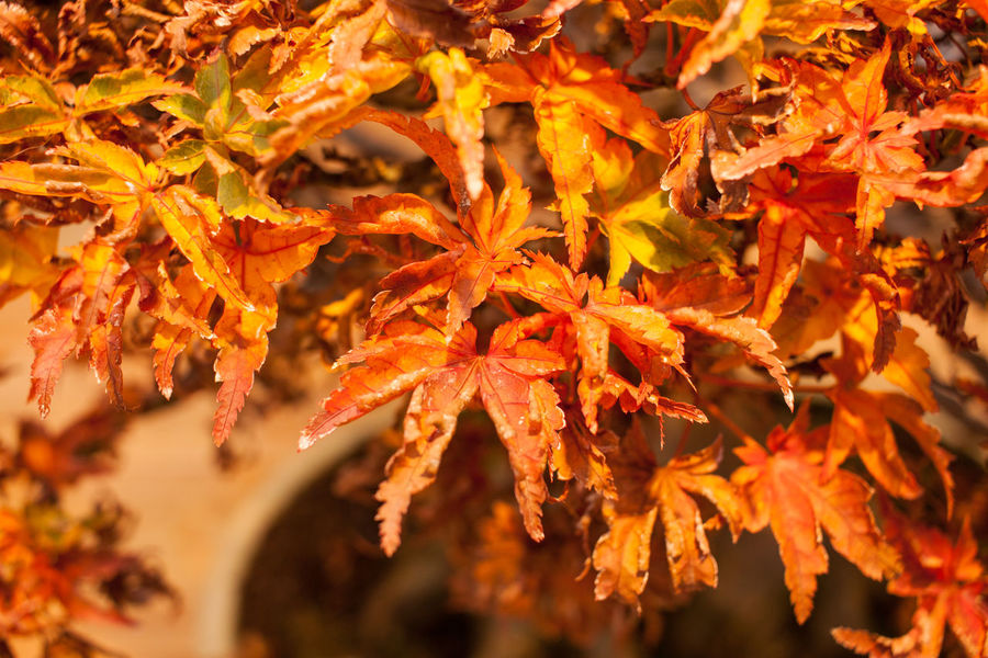 Autumn Beauty In Nature Bonsai Tree Change Close-up Day Fragility Growth Leaf Maple Maple Leaf Maple Tree Nature No People Orange Color Red Tree