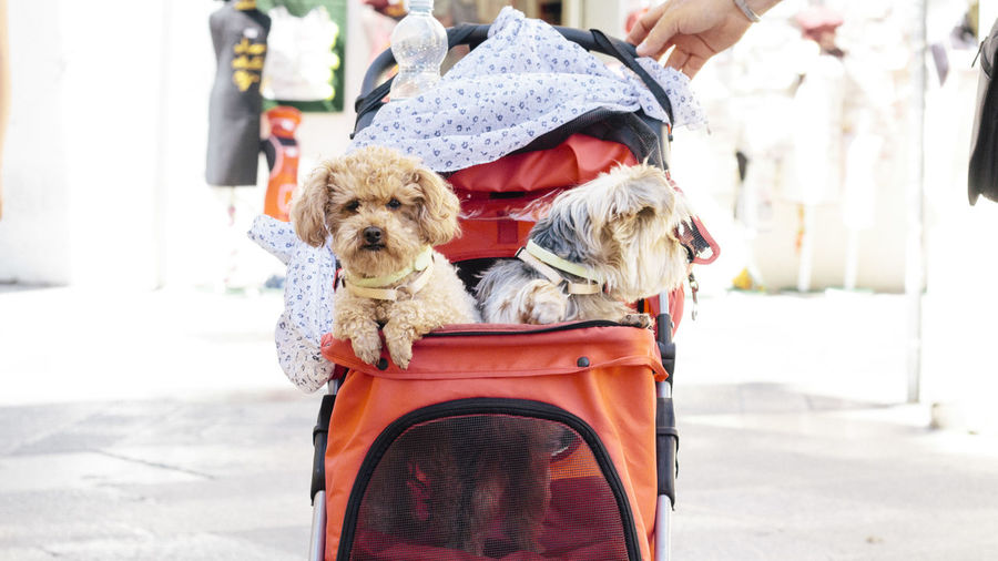 Dogs in baby carriage on footpath