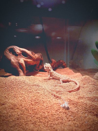 Khaleesi my new little beardy Bearded Dragon Khaleesi Beatiful Creature Red Dragon