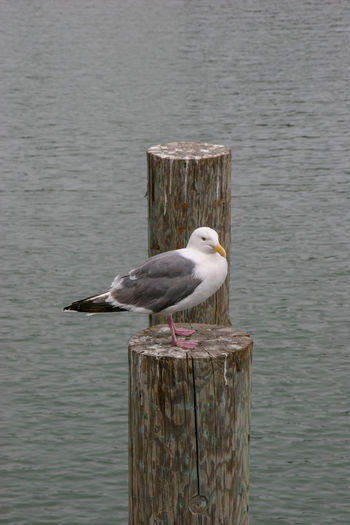 Livingstone Seagull Seagulls Animal Themes Animal Wildlife Animals In The Wild Beauty In Nature Bird Close-up Day Lake Nature No People One Animal Outdoors Perching Seagull Water Waterfront Wood - Material Wooden Post California Dreamin