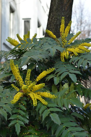 Beauty In Nature Close-up Day Flower Flower Head Fragility Freshness Growth Leaf Nature No People Outdoors Plant Tree Yellow