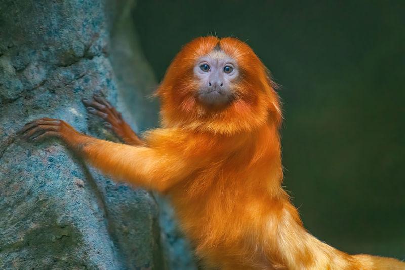 Close-up portrait of a golden lion tamarin, monkey.