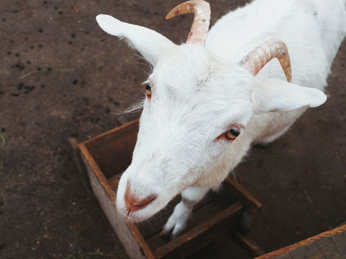 High angle view of goat