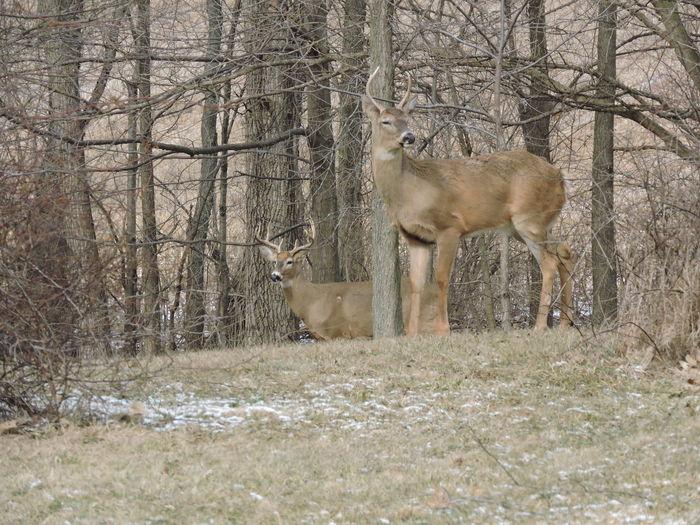 Fun in the backyard. 6-8 bucks Animal Wildlife Backyard Beauty Beauty In Nature, Deer Moments Full Frame Shot Mammel Out My Window Woodside
