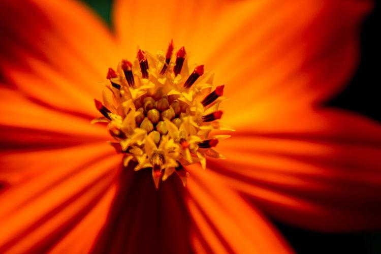 Close-up of orange flower pollen