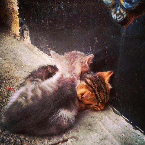 Meaow Cat Catsofistanbul Catsoffatih kedilik yavrukedi kitten coktatli