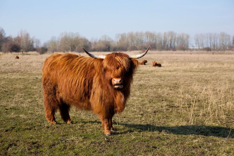 Highland cattle Animal Wildlife Highland Cow Cows Field Cow Animal Themes Domestic Animals Livestock Mammal Highland Cattle Cattle No People Outdoors Nature Grass Brown Day