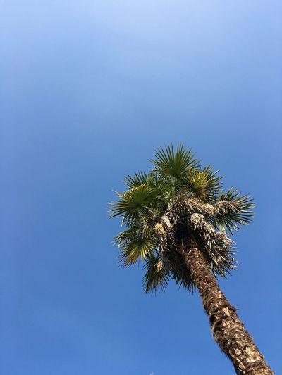 palmtree Low