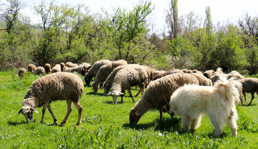 sheeps Grass Grazing Pasture Animal Themes Beauty In Nature Day Domestic Animals Field Flock Of Sheep Grass Grazing Green Color Growth Large Group Of Animals Livestock Mammal Nature No People Outdoors Pasture Sheep Sheeps Tree Wool