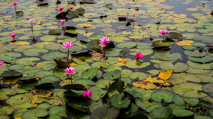 Lotus Field Beauty In Nature Day Floating Floating On Water Flower Flower Head Flowering Plant Fragility Freshness Growth Lake Leaf Leaves Lotus Water Lily Nature No People Outdoors Petal Pink Color Plant Plant Part Springtime Vulnerability  Water Lily