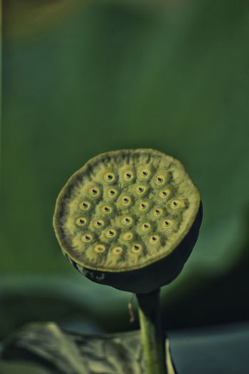 Lotos Beauty In Nature Close-up Day Flower Flower Head Focus On Foreground Fragility Freshness Green Color Growth Lotus Flower Lotus Water Lily Nature Nelumbo_sp No People Outdoors Plant Plant Pod Seed