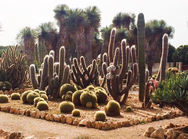 Botanical Garden Cactus Cactus Cactus Garden Clear Sky Day Large Group Of Objects Las Salinas Nature No People Outdoors Palm Tree Plant Sunlight Tranquility