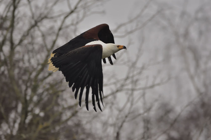 African Fish Eagle Animal Themes Animal Wildlife Bird Bird Of Prey Bird Photography Birds Of EyeEm  Birds_collection Day Graceful Haliaeetus Vocifer No People One Animal Outdoors Perfect Predator Power In Nature Predator Spread Wings Raptor Wildlife & Nature Wildlife Photography Birds In Flight Birds Eagle Eagles