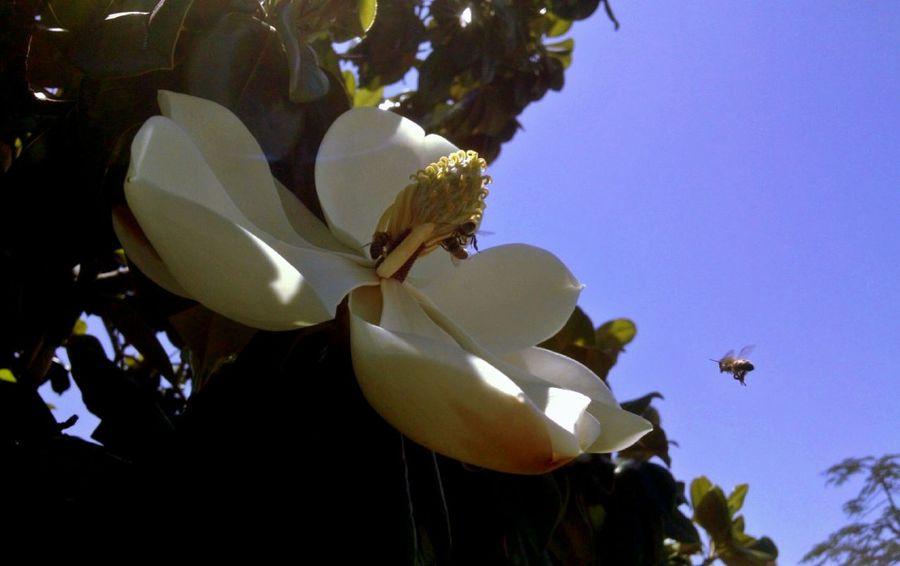 Beautiful Day in LA! Walkabout Sidewalk Discoveries Beauty In Nature Flying California Losangeles Taking Photos Badmonkeyla Sidewalk Photograhy Mothernature Bees MagnoliaTree Sunshine Beautiful