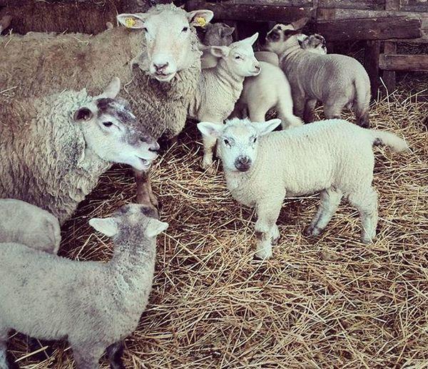Jaké krásné ovečky máme... 🐏 Ovce Ovecky Mosovky JarO Jehne Mladata Seno Slama Sheep Spring Lamb Hay