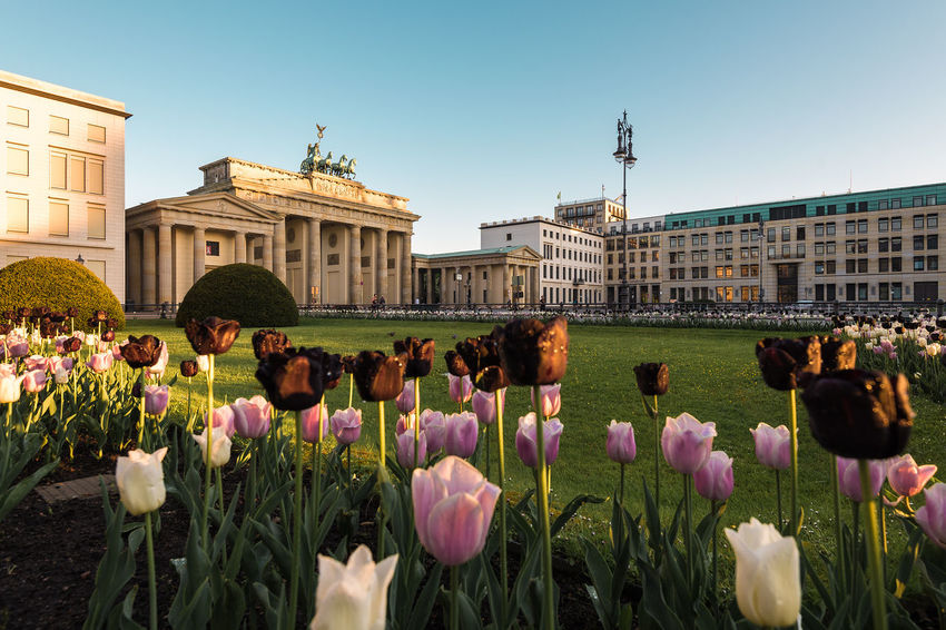 First Light with tulips on Brandenburg Gate in Berlin Architecture Brandenburg Gate Brandenburger Tor Built Structure Flower Nature Tourism Travel Destinations Tulips