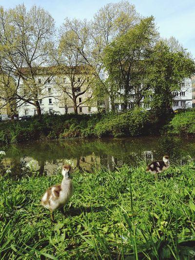 Ducks on grass in park
