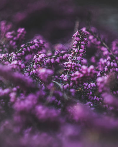 Exceptional Photographs Silhouette EueEm Nature Lover Eye4photography  Poland Bokehlicious Bokeh Photography EyeEm Nature Lover Flower Purple Lavender Close-up Plant Purple Background Blooming Flower Head Magenta Flowering Plant Springtime Decadence