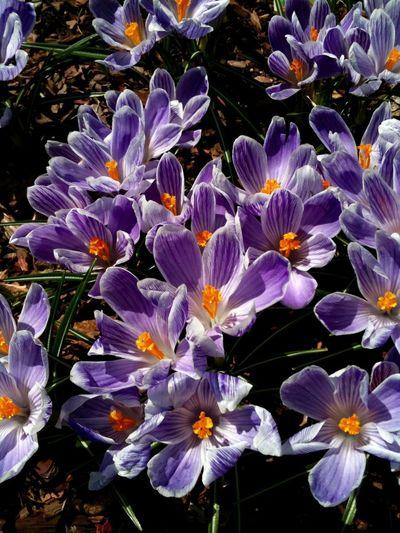 Crocuses Spring Springtime Early Spring EyeEm Best Shots EyeEm Urban Garden Urban Gardening Flowers,Plants & Garden Primavera Flores Y Más Flores Flores De Primavera Easter Spring Into Spring