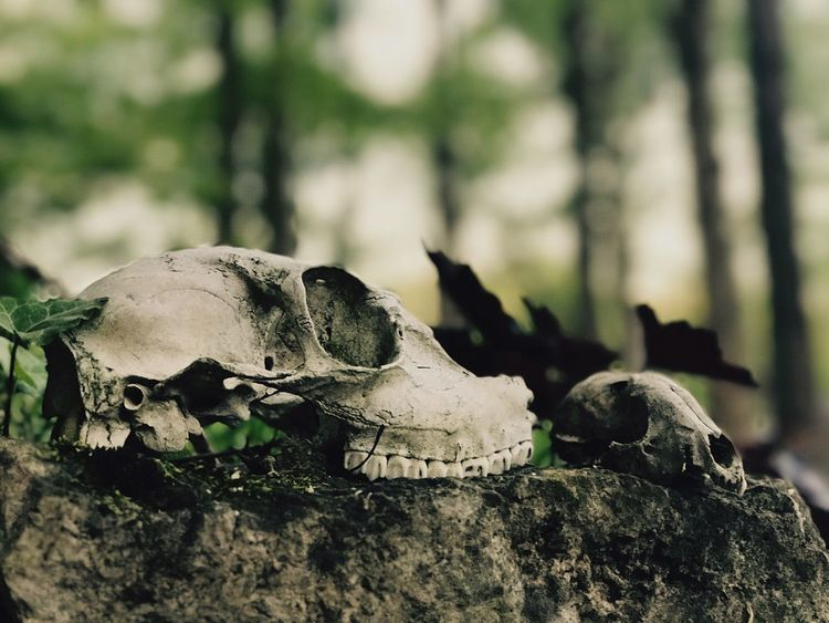 The dead Animal Body Part Animal Bone Animal Skeleton Animal Skull Bone  Close-up Focus On Foreground Nature No People Skeleton The Great Outdoors - 2017 EyeEm Awards