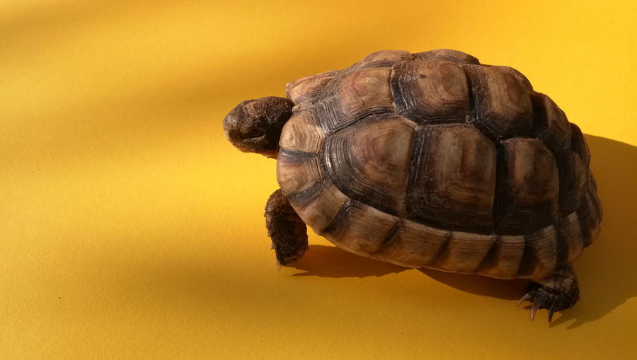 EyeEm Selects Tortoise Shell Tortoise Reptile Yellow Background Yellow Animal Shell Close-up Turtle