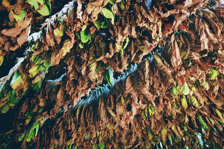 Leaf Leaves Beauty In Nature Nature Close-up Cigar Tobacco Tobacco Leaf Cigar Plantation Cigar Production Cuba