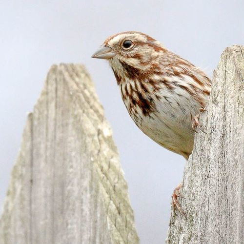 Got a Songsparrow hanging around my yard lately 😎 Backyardwildlife Sparrows Ig_discover_wildlife Backyardbirds Birdingphotography Nature Birdsofinstagram Ig_discover_birdslife Kings_birds
