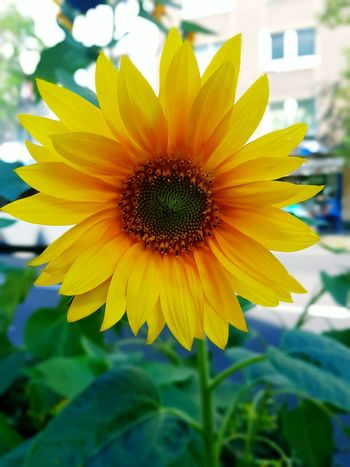 Flower Flower Head Sunflower Macro Beauty In Nature Yellow Flower Flower_Collection Close-up Focus On Foreground Bloom City Life City Street My City Street Life Street Photography Sunny Day End Of Summer City Nature Nature_collection Single Flower Green Leaves Yellow And Green Macro_collection Galaxy S7 Edge