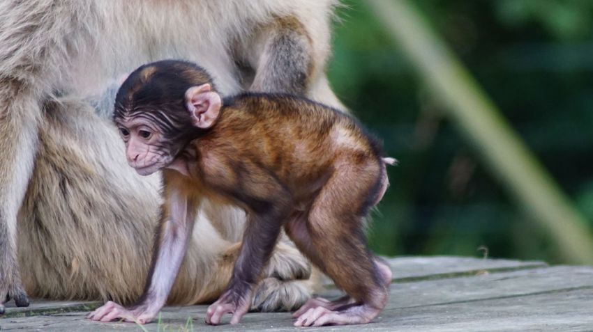 Animals In The Wild Mammal Animal Themes Monkey Primate Animal Wildlife Outdoors Infant Young Animal Focus On Foreground Day Togetherness Nature Close-up Wildlife Japanese Macaque Beauty In Nature EyeEm Nature Lover EyeEm Gallery Nature Animals In The Wild Denmark 🇩🇰🇩🇰🇩🇰 Giveskud