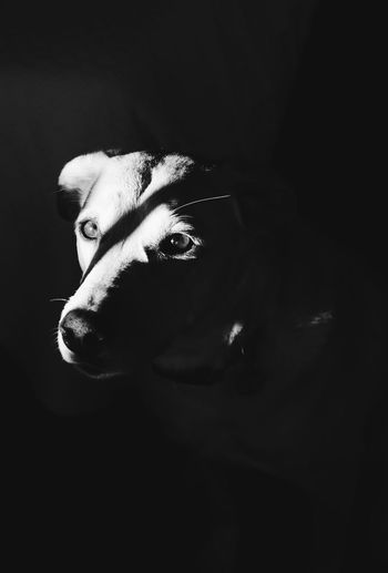 Domestic Animals One Animal Animal Themes Dog Mammal Pets Animal Head  No People Black Background Close-up Indoors  Day Black And White Friday
