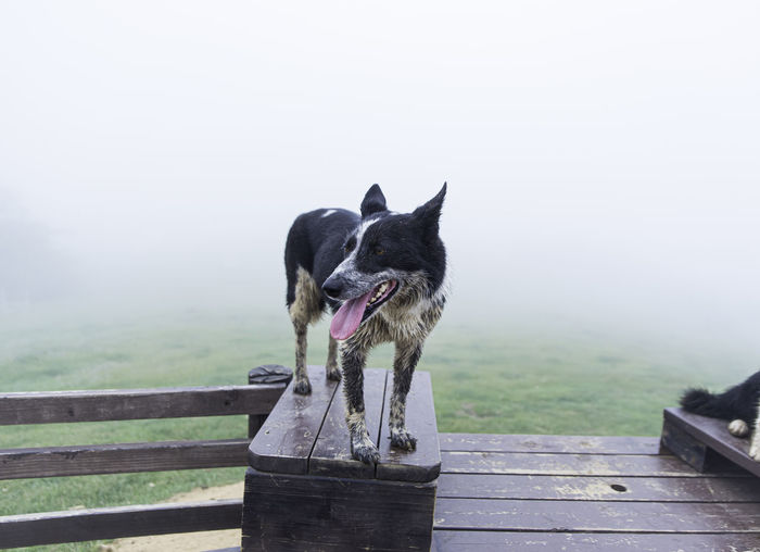 Dog standing on wood against sky