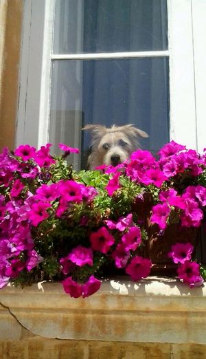 Dog Dog❤ Dogslife Love Animals DogLove City View  Citylife Window Flowers Poetic Love Life I Love My Dog Colors Flowerpower Flowerpower🌸 Under Window Dogstagram Doglover Doglife Eye4photography  Eyemcollections Eyemphotography Senzafiltro EyeEm Best Shots Adapted To The City